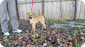 Hound (Unknown Type)/Labrador Retriever Mix Puppy for adoption in St John, Indiana - Wendy