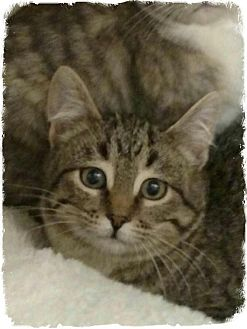 Domestic Shorthair Kitten for adoption in Pueblo West, Colorado - Mollie