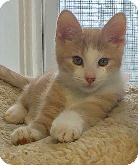 Domestic Shorthair Kitten for adoption in Greensburg, Pennsylvania - Flash