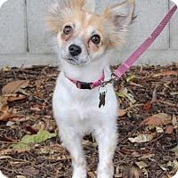 Adopt A Pet :: Dreidel - Palo Alto, CA