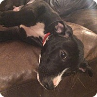 Pit Bull Terrier Mix Puppy for adoption in Dallas, Texas - Draco