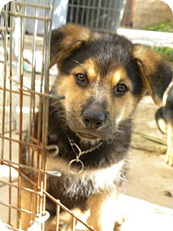 Shepherd (Unknown Type) Mix Puppy for adoption in Mission Viejo, California - Bear