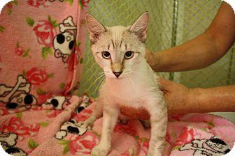 Siamese Kitten for adoption in Fountain Hills, Arizona - GARTH