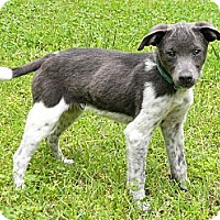 Adopt A Pet :: Gavin - Mocksville, NC