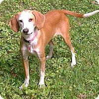 Adopt A Pet :: Stella - Bardonia, NY