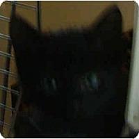 Adopt A Pet :: Kittens - Dallas, TX