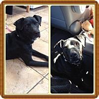 Adopt A Pet :: CEDRIC - Encino, CA