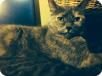 Domestic Shorthair Cat for adoption in Crown Point, Indiana - Simbiana (Simbi)