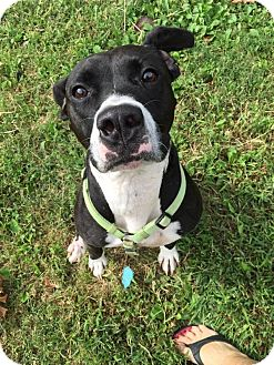 American Pit Bull Terrier/Airedale Terrier Mix Dog for adoption in Nixa, Missouri - Gypsy #685