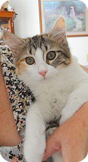 Manx Cat for adoption in Harrisonburg, Virginia - Fiona