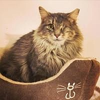 Maine Coon Cat for adoption in Cleveland, Ohio - Leela