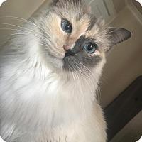 Siamese Cat for adoption in Covington, Kentucky - Sophia
