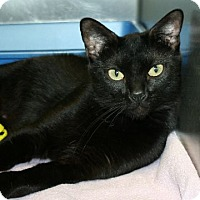 Domestic Shorthair Cat for adoption in Irving, Texas - Melinda