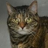 Domestic Shorthair Cat for adoption in Columbia, South Carolina - Lola