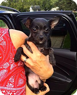 Yorkie, Yorkshire Terrier/Chihuahua Mix Puppy for adoption in Normal, Illinois - Chili Bean