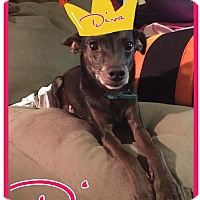 Adopt A Pet :: Diva - Cheney, KS