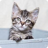 Bengal Kitten for adoption in Nashville, Tennessee - Bern