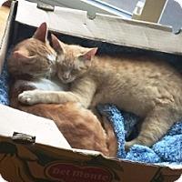 Domestic Shorthair Cat for adoption in Vancouver, British Columbia - Shaemus