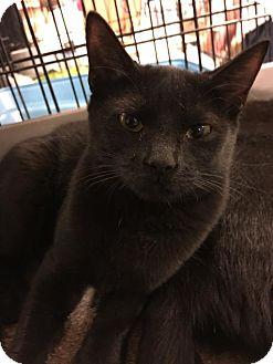 Domestic Shorthair Kitten for adoption in Boynton Beach, Florida - Ninja