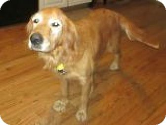Golden Retriever Dog for adoption in Denver, Colorado - Petunia