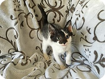 Domestic Shorthair Kitten for adoption in Tampa, Florida - Sabrina