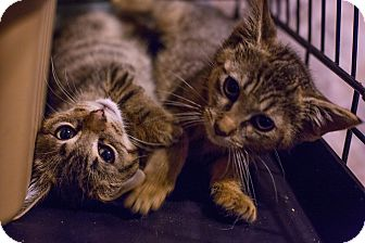 American Shorthair Kitten for adoption in Brooklyn, New York - IBKNY - cats & kittens