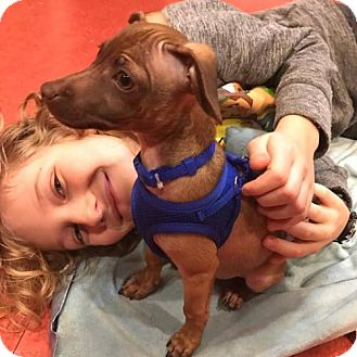 Italian Greyhound/Terrier (Unknown Type, Medium) Mix Puppy for adoption in Arlington, Washington - Pablo, an Italian Greyhound mix puppy