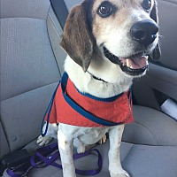 Adopt A Pet :: Bob - White Settlement, TX