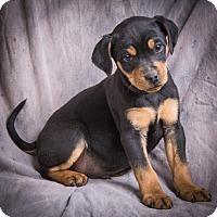 Adopt A Pet :: BLUE - Anna, IL