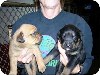 Boxer Rottweiler Mix Puppies Captain Jack Sparrow Adopted Dog