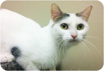 Domestic Shorthair Cat for adoption in Chicago, Illinois - Mindy