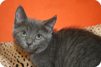 Russian Blue Kitten for adoption in SILVER SPRING, Maryland - MERCEDES