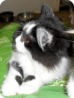 Maine Coon Cat for adoption in Seattle, Washington - Zag