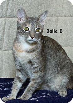 Domestic Shorthair Cat for adoption in Sacramento, California - Bella B