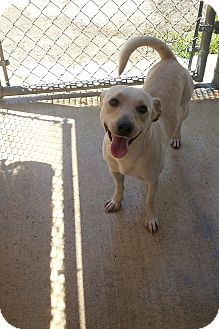 Labrador Retriever Mix Dog for adoption in san antonio, Texas - Manny
