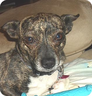 Chihuahua/Dachshund Mix Dog for adoption in Allentown, Pennsylvania ...