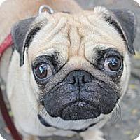 Adopt A Pet :: Pugsley - New York, NY