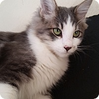 Domestic Shorthair Cat for adoption in Mountain Center, California - Aurora