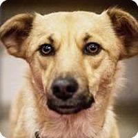 Adopt A Pet :: Gunner - Minneapolis, MN