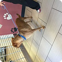 Adopt A Pet :: Billy - Mesquite, TX