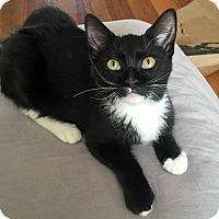 Domestic Shorthair Kitten for adoption in Brooklyn, New York - Clementino the Cuddle-bug