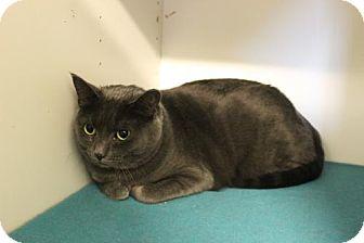 Domestic Shorthair Cat for adoption in Boise, Idaho - Sally