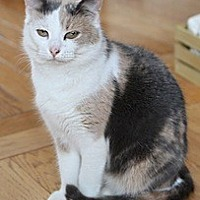 Domestic Shorthair Cat for adoption in Bainsville, Ontario - KERI
