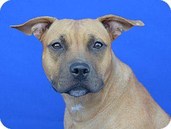 Pit Bull Terrier Mix Dog for adoption in LAFAYETTE, Louisiana - SUKI