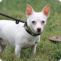 Chihuahua Mix Dog for adoption in Ashville, Ohio - Cotton