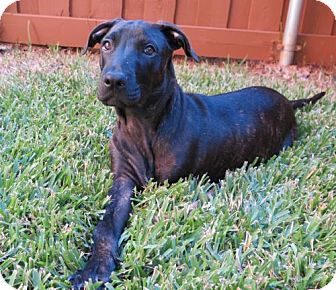 Labrador Retriever/Pit Bull Terrier Mix Puppy for adoption in Dallas, Texas - Parker III