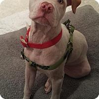 Adopt A Pet :: BamBam - San Diego, CA