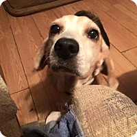 Beagle Dog for adoption in Kittery, Maine - Prudence