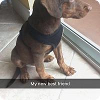 Adopt A Pet :: Magnum - Royal Palm Beach, FL