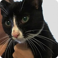 Domestic Shorthair Kitten for adoption in Fort Lauderdale, Florida - Tux